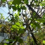 梅の実も豊作